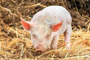 wütendes Schwein foto