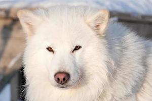 weißes Husky-Porträt