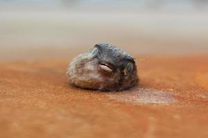 toter Kugelfisch mit offenem Mund foto