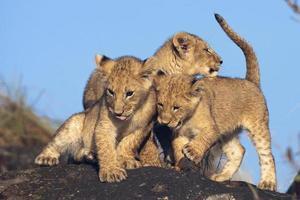 Löwenbabys (Panthera Leo) spielen auf Felsen foto