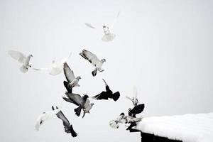 Tauben foto