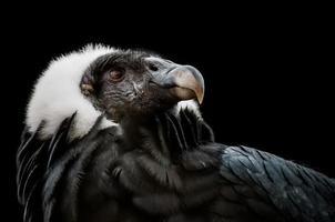 der Andenkondor (vultur gryphus) foto