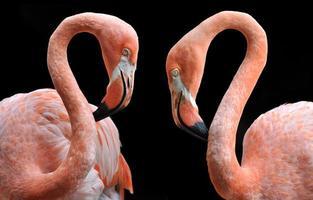Paar hellrosa Flamingos