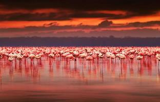 afrikanische Flamingos auf Sonnenuntergang
