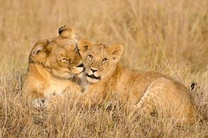 Löwin und ihr Junges foto