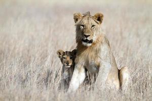 Löwe Bigbrother Babysitting Cub, Serengeti, Tansania foto