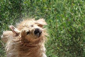 Golden Retriever schüttelt Wasser ab