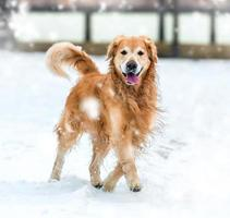 Golden Retriever Spaziergang im Park foto