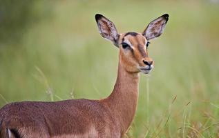 Impala Mutterschaf im Regen