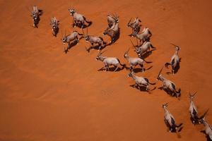 Oryx foto