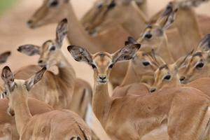 Impala Kinderkrippe foto