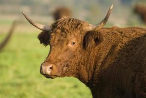 Vache Saler foto