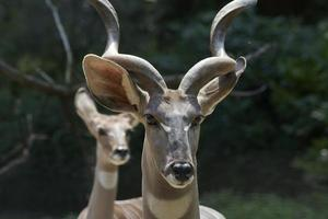 kleineres Kudu (männlich und weiblich) foto