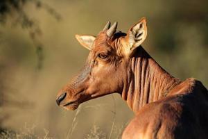 Tsessebe Antilopenporträt foto