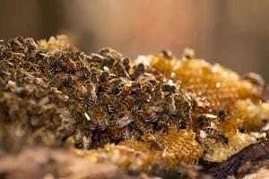Honigbienen foto
