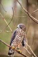 breitflügeliger Falke