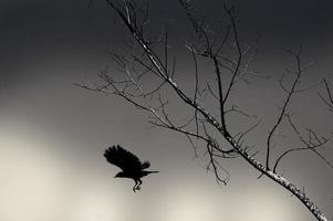 Silhouette einer Krähe auf Baum foto
