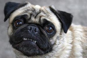 Mops zeigt Zähne foto