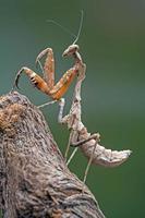 Gottesanbeterin mit toten Blättern (deroplatys dessicata) foto