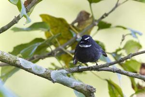 Weißkehl-Fantail-Fliegenfängervogel in Nepal
