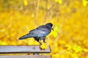 schwarze Krähe sitzt auf Bank foto