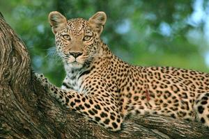 weiblicher Leopard in einem Baum, der Kamera betrachtet