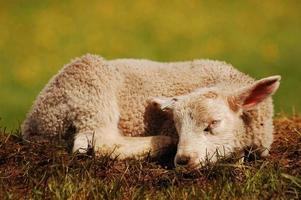 schlafendes Lamm foto