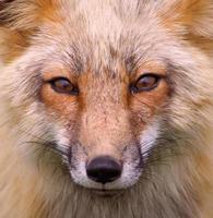 foxy foto