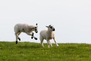 springende Frühlingslämmer foto