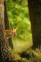 Rotfuchs hinter Baumstamm gucken und lecken sich selbst
