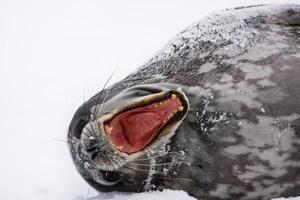 schreiender Seehund foto
