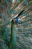 Pfau Pfau mit seinen Schwanzfedern. Tier im Zoo foto