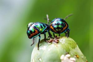 Litschi Schild Bug foto