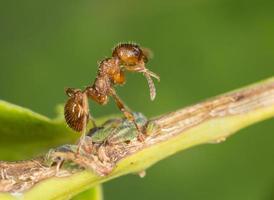 rote Ameise, Myrmica auf Blattläusen polieren foto