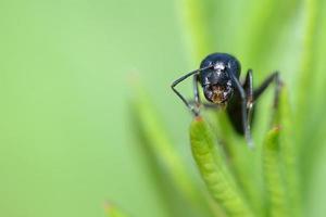 Kopf einer Ameise foto