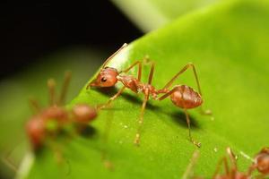 kleine rote Ameise, die am Baum arbeitet