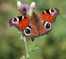 Pfau Schmetterling