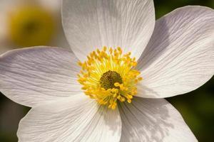 weiße Anemonenblume 'wilder Schwan' - Nahaufnahme
