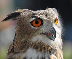 Eule mit flauschigen Federn und riesigen orangefarbenen Augen foto
