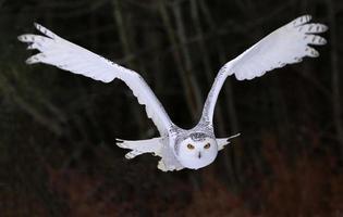 Schneeeule fliegt direkt auf dich zu foto