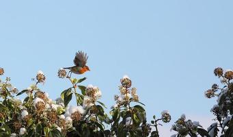 Rotkehlchen fliegt foto