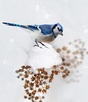 Blue Jay im Winter foto