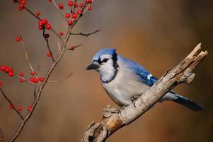 Blue Jay und Beeren