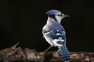Blue Jay am Glied foto