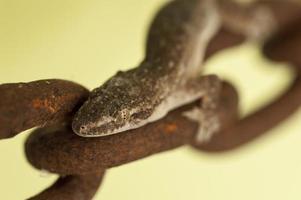 Gecko an rostiger Kette foto