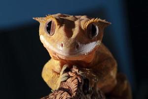 Caledonian schuf einen Gecko, der in die Kamera blickte foto
