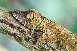 Gecko Seitenporträt foto