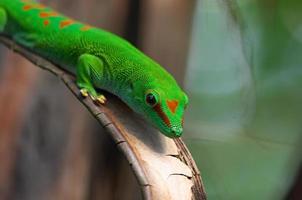 Madagaskar Riesentag Gecko im Zürcher Zoo foto
