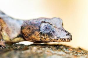 Uroplatus Phantasticus Porträt foto