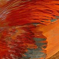 Hühnerfeder foto